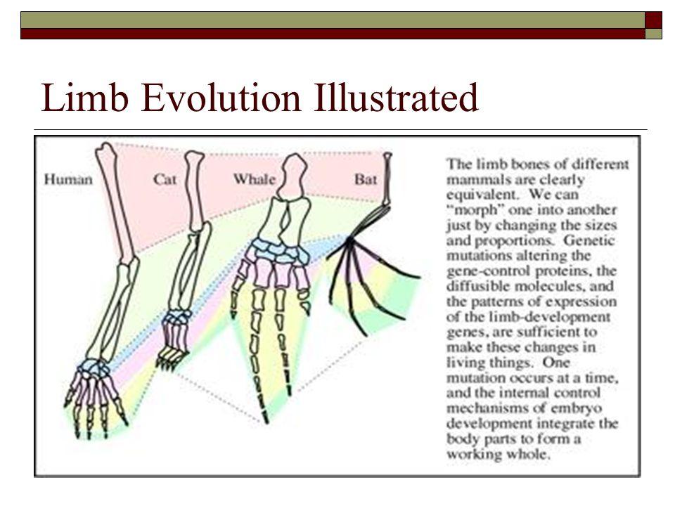 Limb Evolution Illustrated