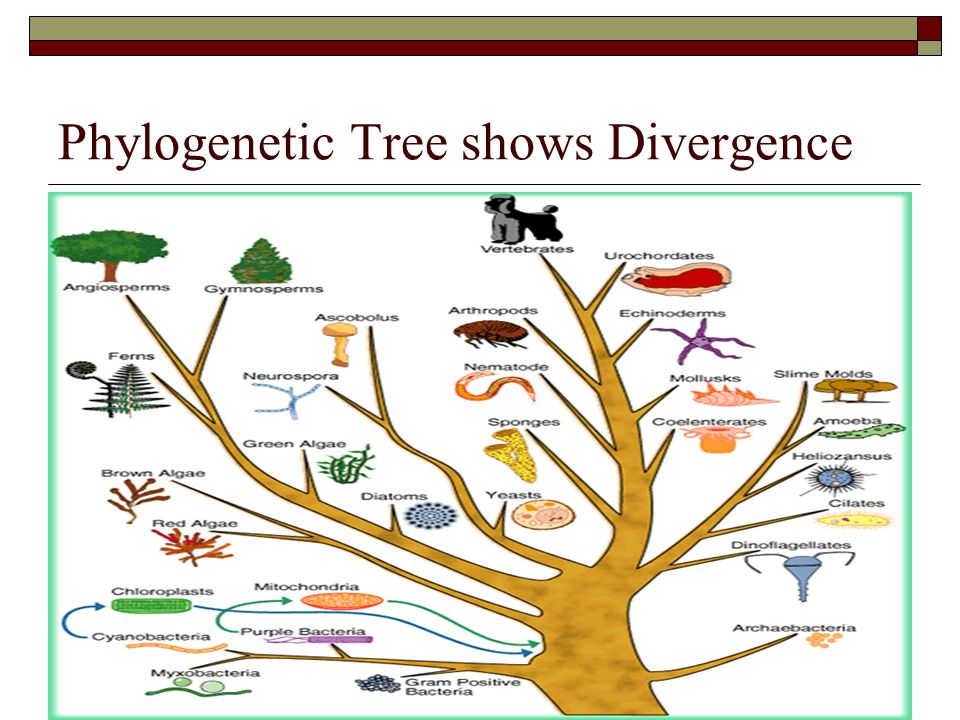 Phylogenetic Tree shows Divergence