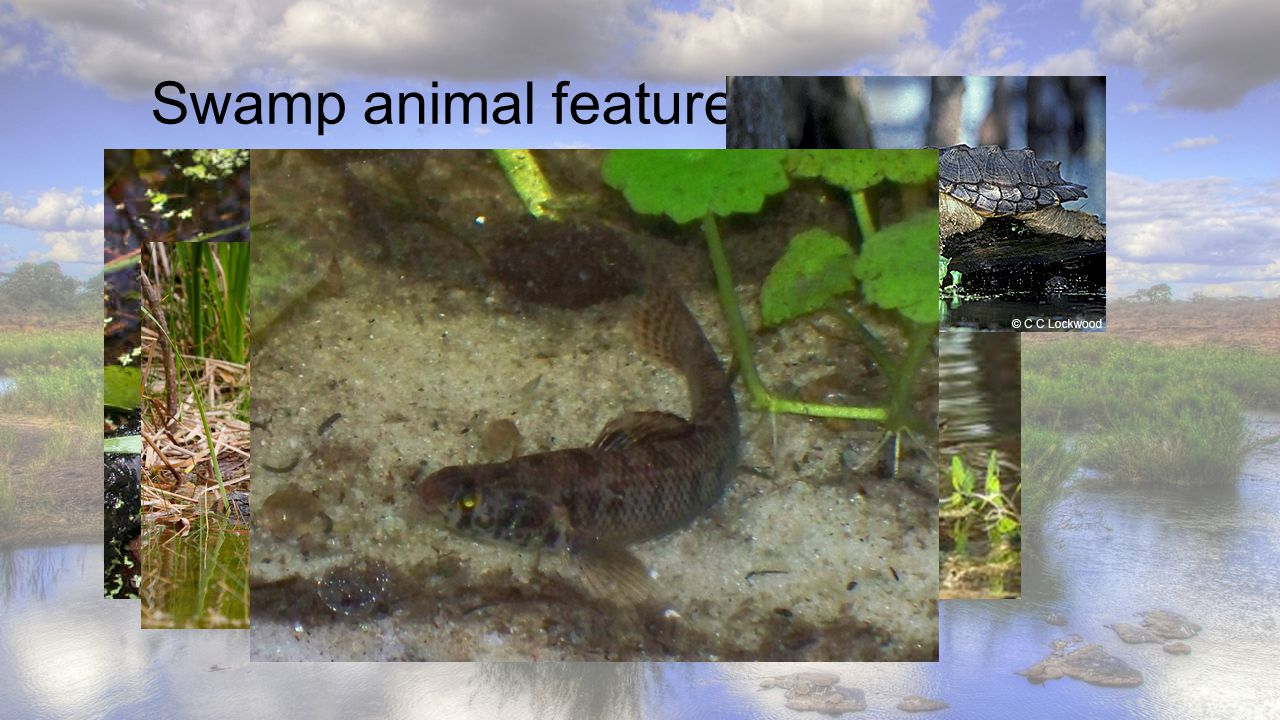 Swamp animal features