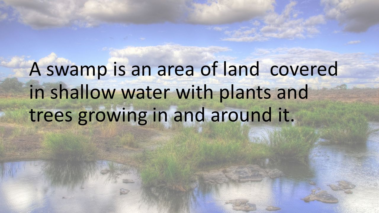 A swamp is an area of land covered in shallow water with plants and trees growing in and around it.