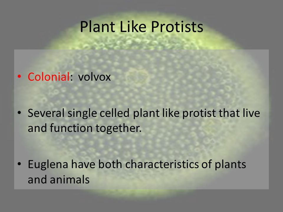 Plant Like Protists Colonial: volvox