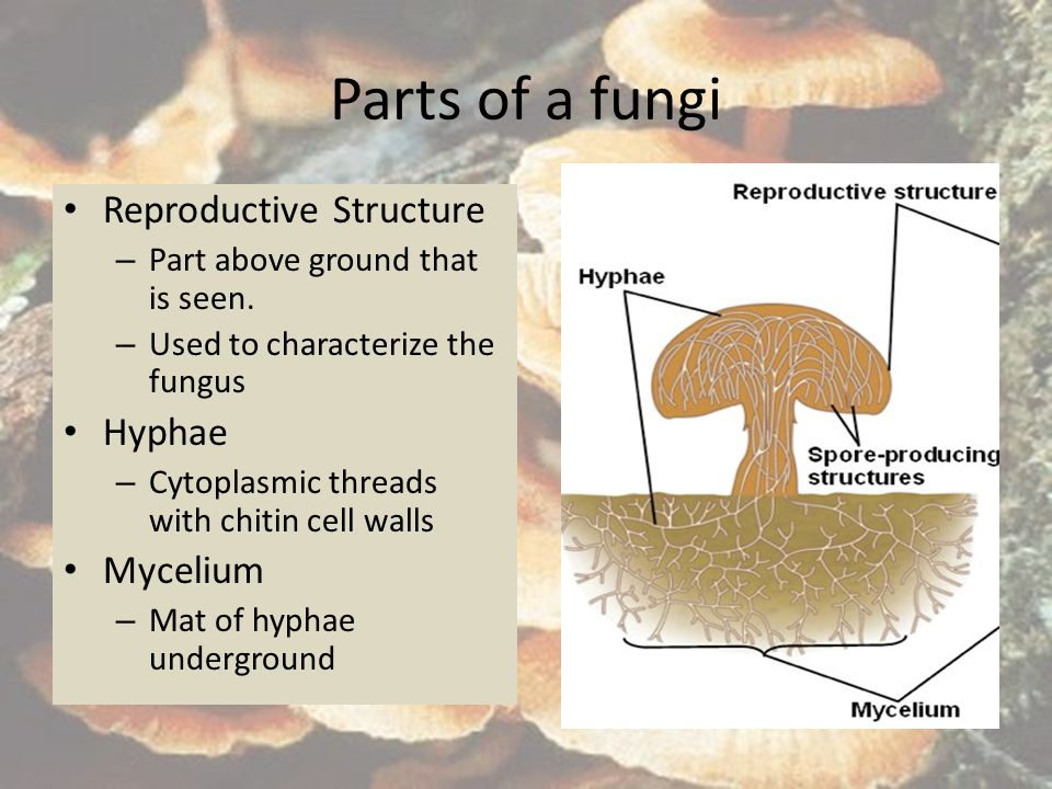 Parts of a fungi Reproductive Structure Hyphae Mycelium