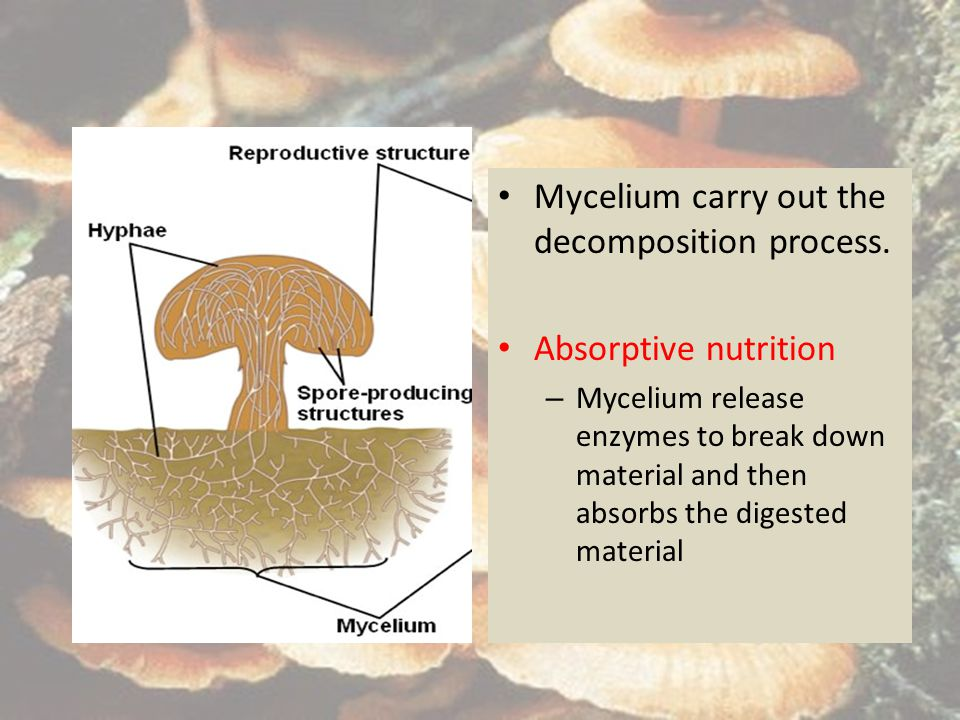 Mycelium carry out the decomposition process.