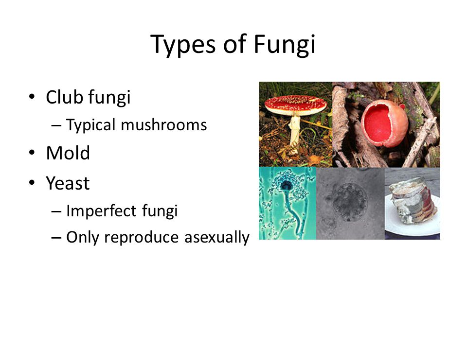 Types of Fungi Club fungi Mold Yeast Typical mushrooms Imperfect fungi