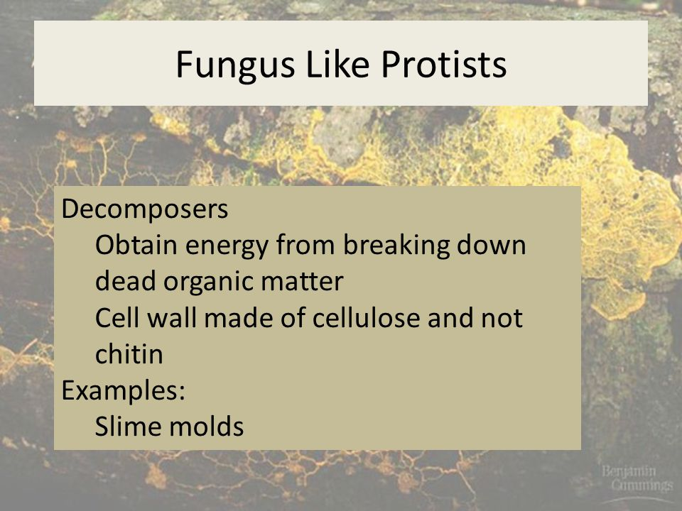 Fungus Like Protists Decomposers