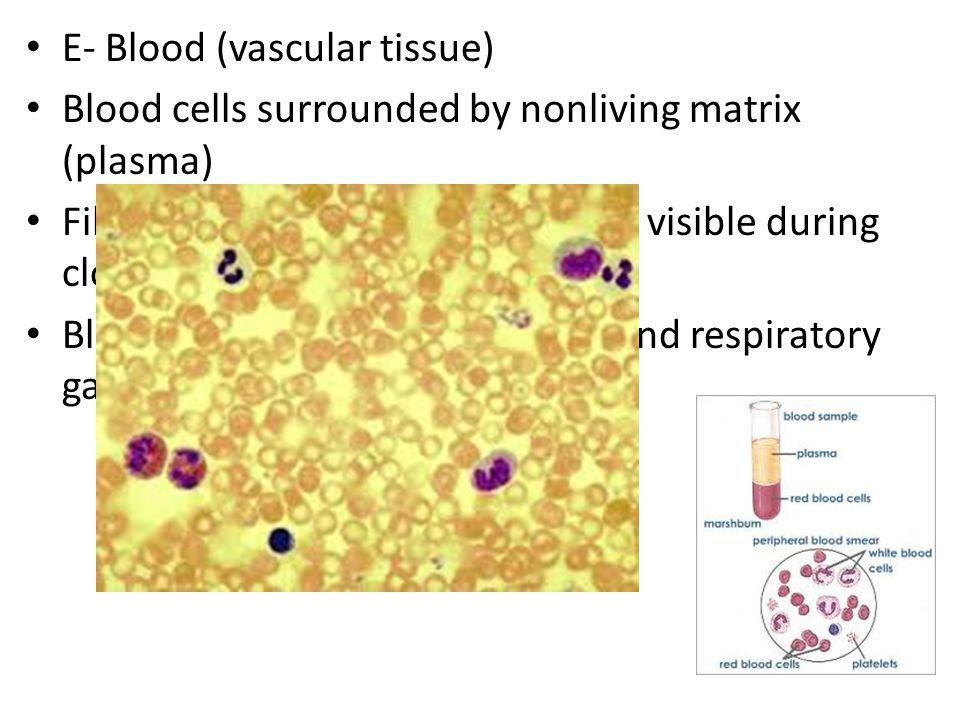 E- Blood (vascular tissue)