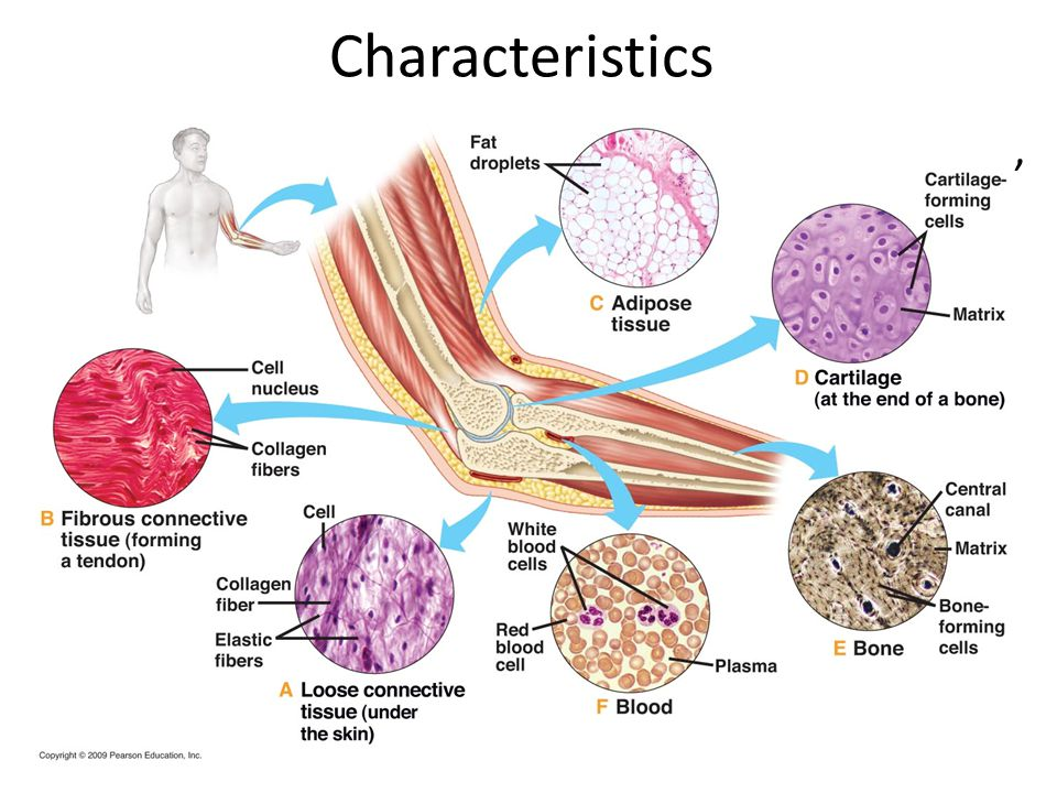 Characteristics Most are vascularized- except tendons, cartilages, and ligaments.