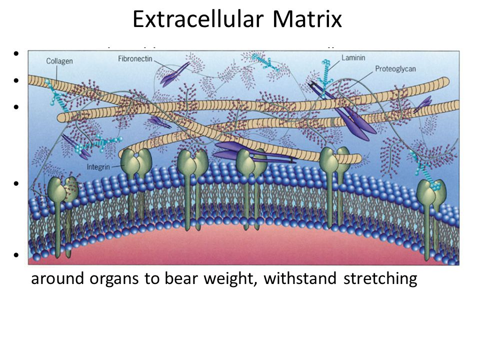 Extracellular Matrix ECM- produced by connective tissue cells
