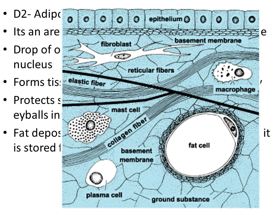 D2- Adipose Tissue- fat Its an areolar tissue in which fat cells predominate. Drop of oil occupies the cell, compressing the nucleus.