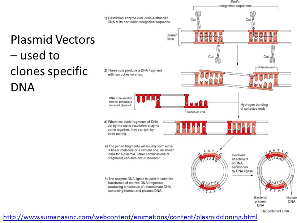 Plasmid Vectors – used to clones specific DNA