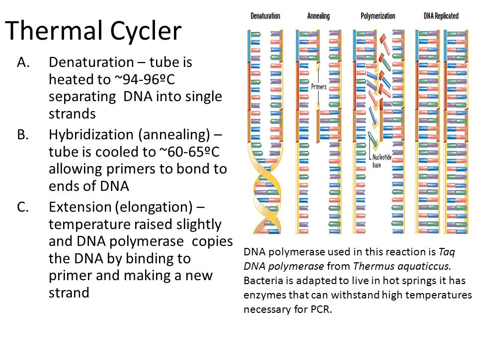 Thermal Cycler Denaturation – tube is heated to ~94-96ºC separating DNA into single strands.