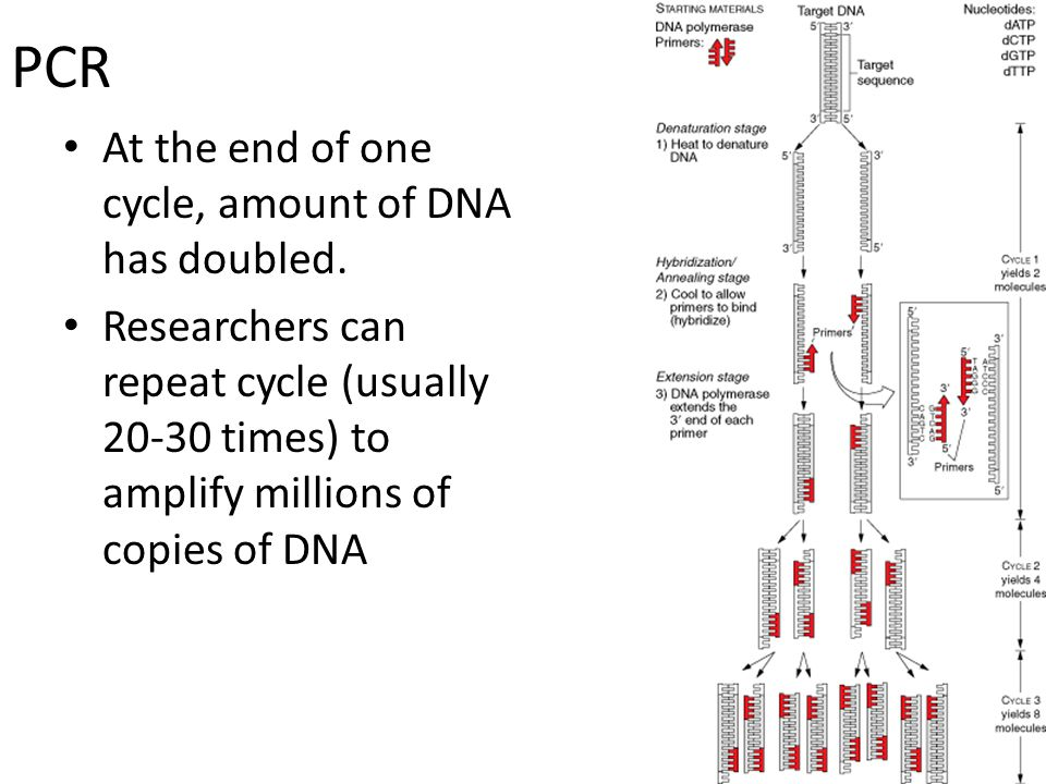 PCR At the end of one cycle, amount of DNA has doubled.