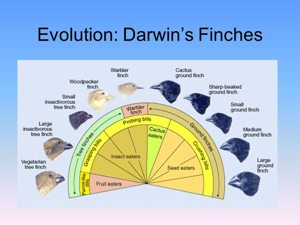 Evolution: Darwin's Finches