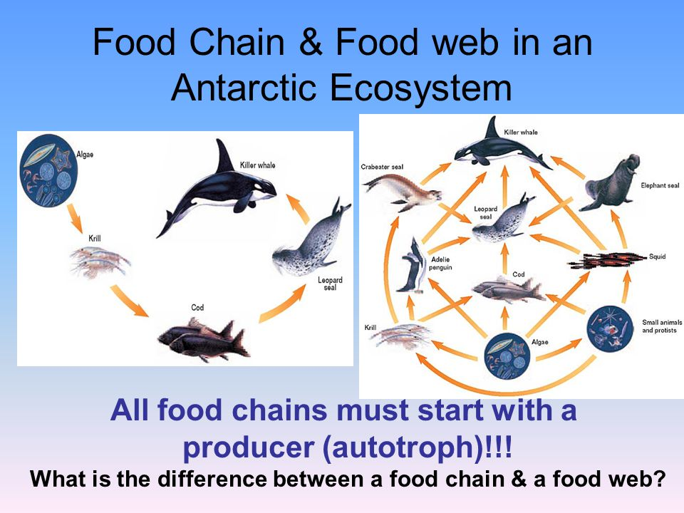 Food Chain & Food web in an Antarctic Ecosystem