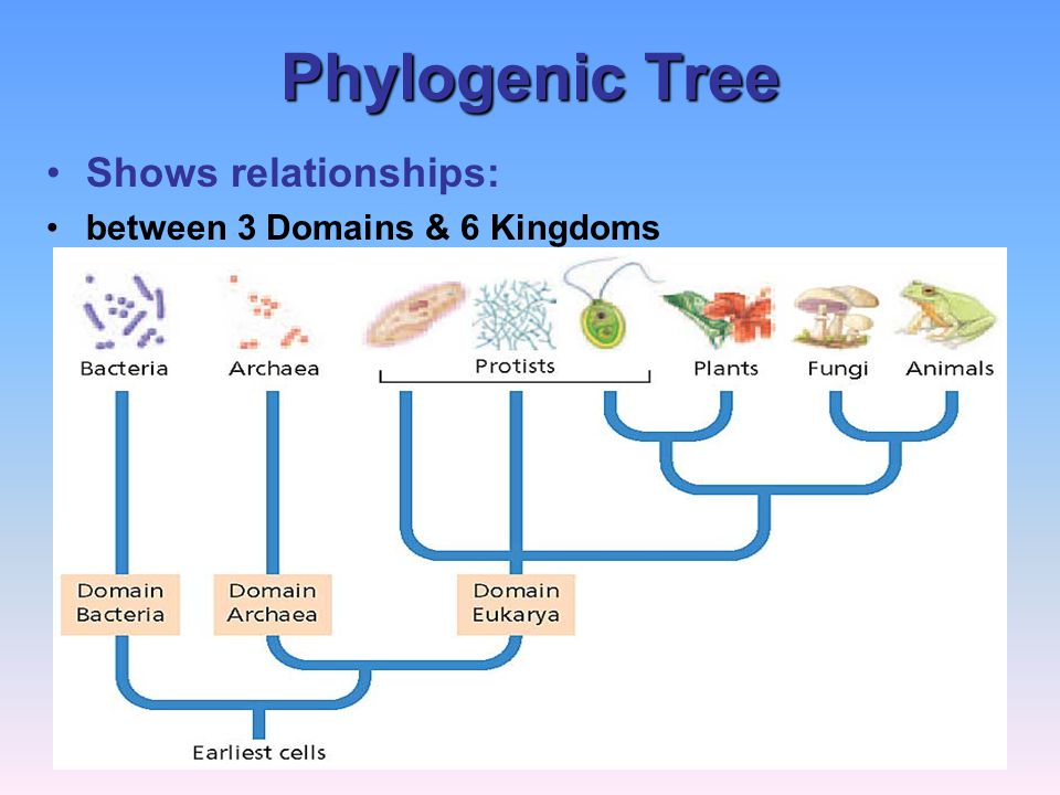Phylogenic Tree Shows relationships: between 3 Domains & 6 Kingdoms
