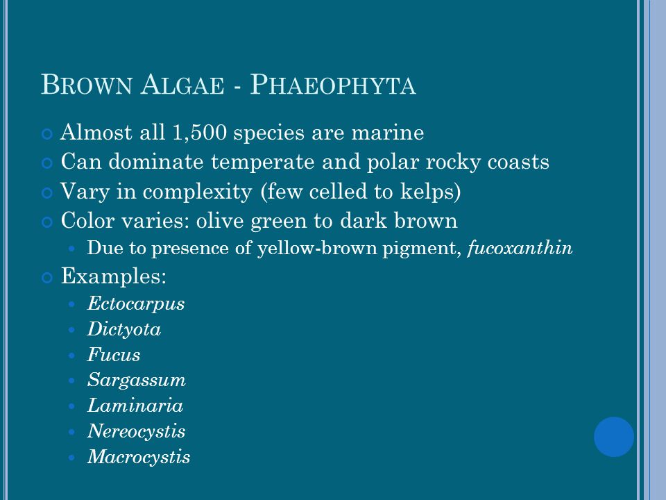 Brown Algae - Phaeophyta