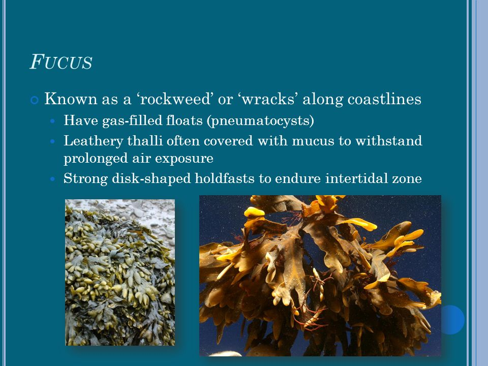 Fucus Known as a 'rockweed' or 'wracks' along coastlines