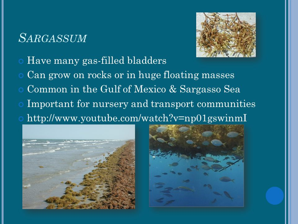 Sargassum Have many gas-filled bladders