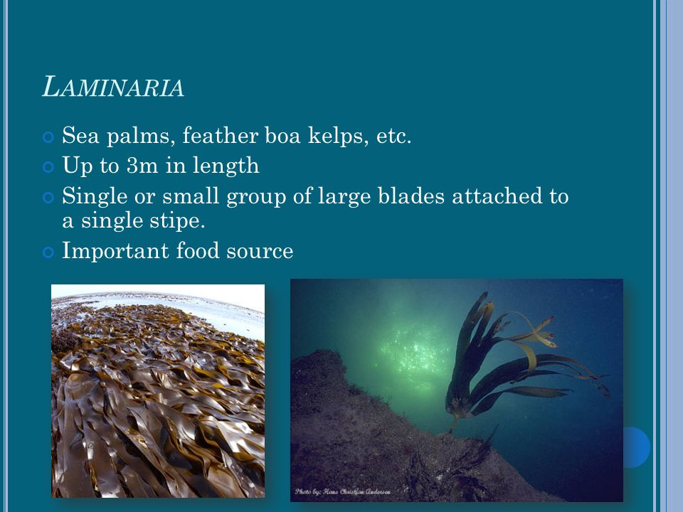 Laminaria Sea palms, feather boa kelps, etc. Up to 3m in length