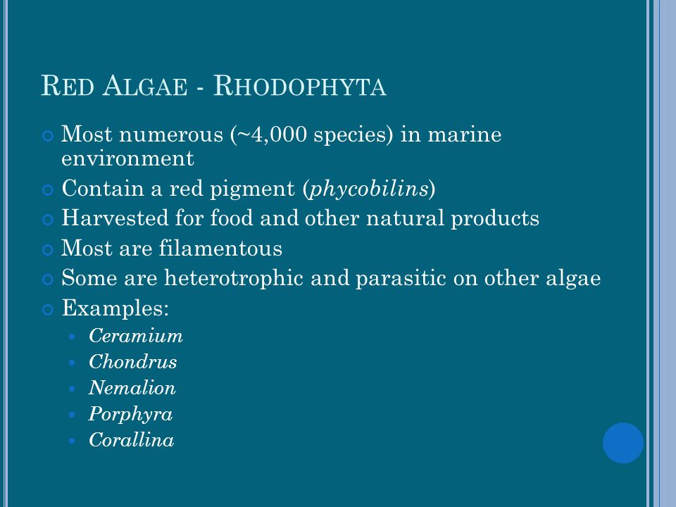 Red Algae - Rhodophyta Most numerous (~4,000 species) in marine environment. Contain a red pigment (phycobilins)