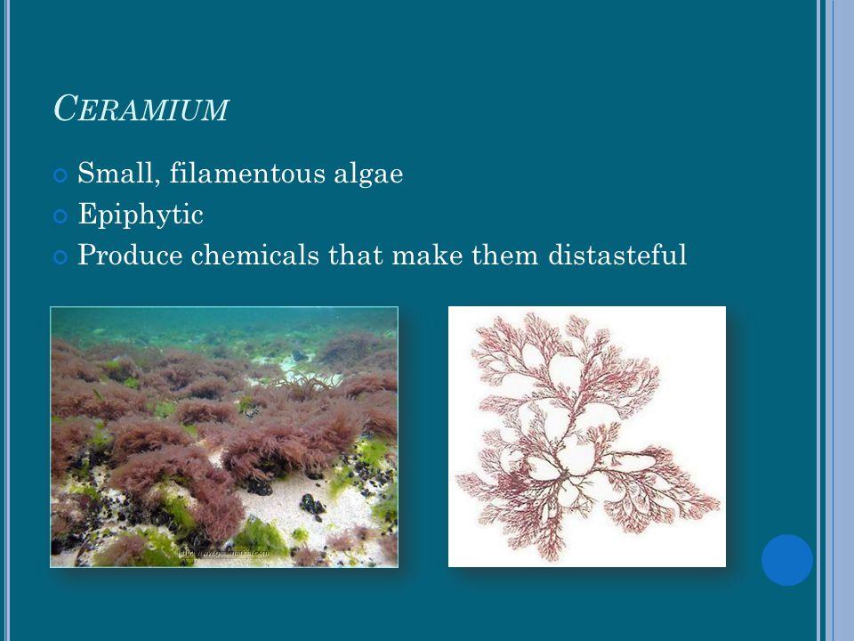Ceramium Small, filamentous algae Epiphytic