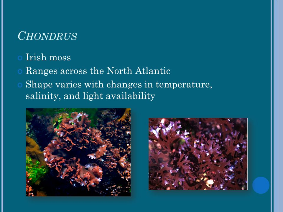 Chondrus Irish moss Ranges across the North Atlantic