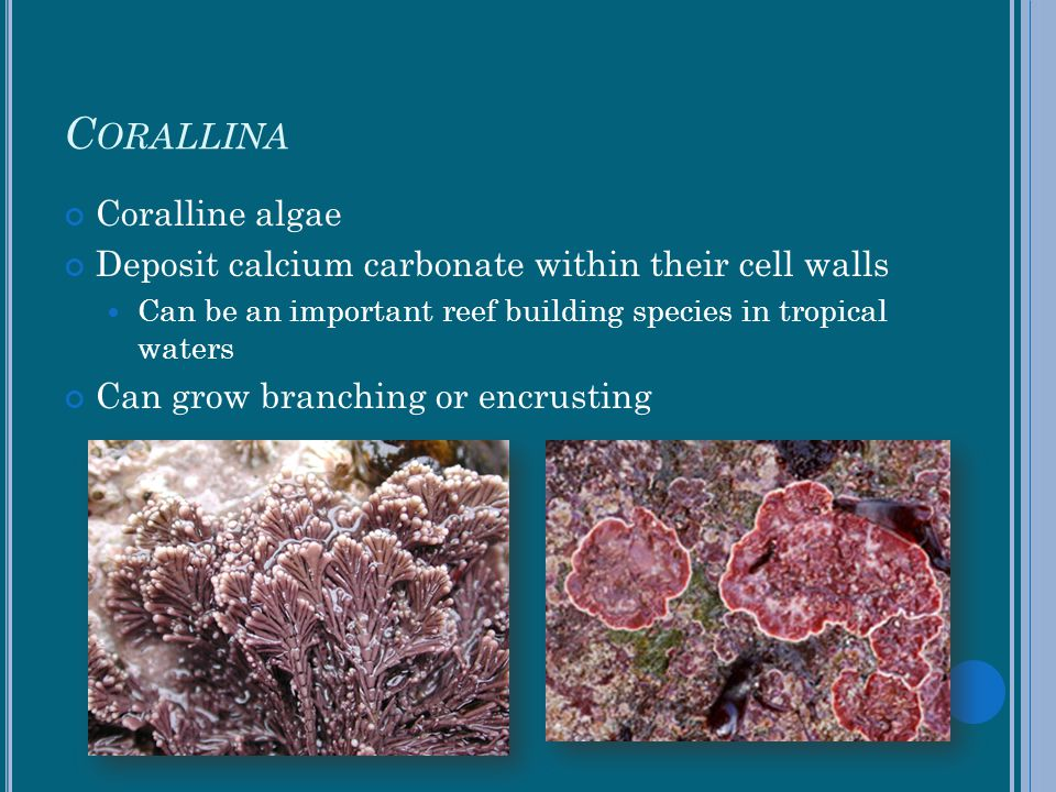 Corallina Coralline algae