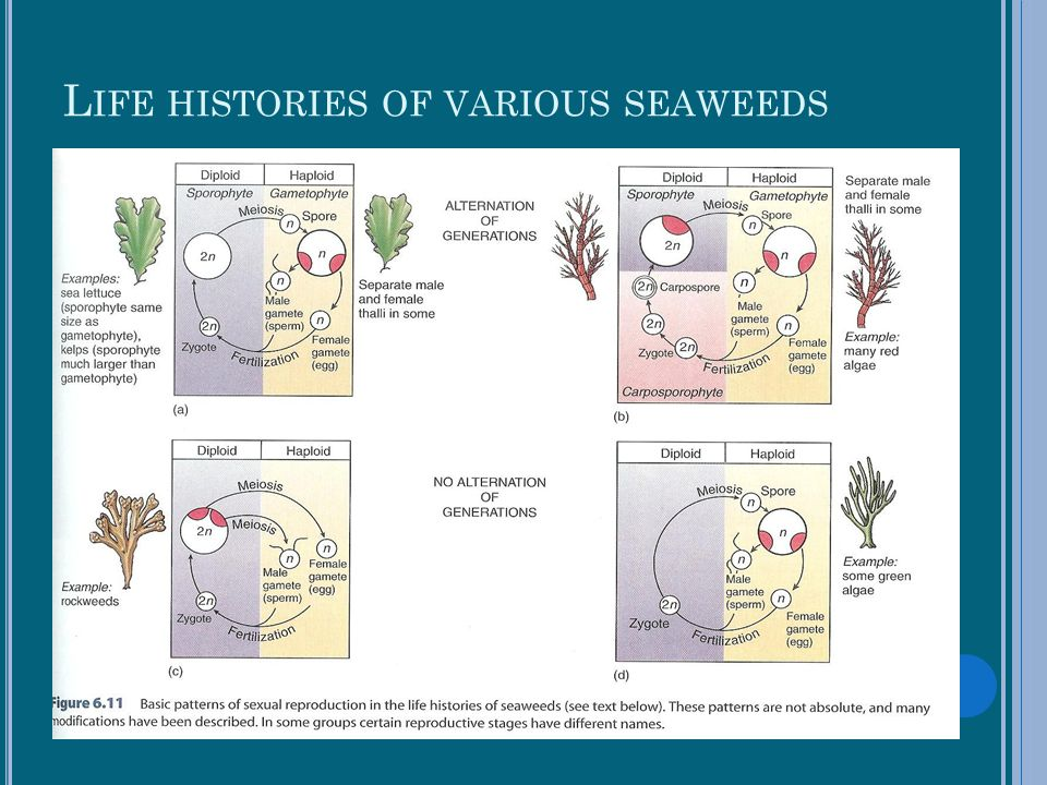Life histories of various seaweeds