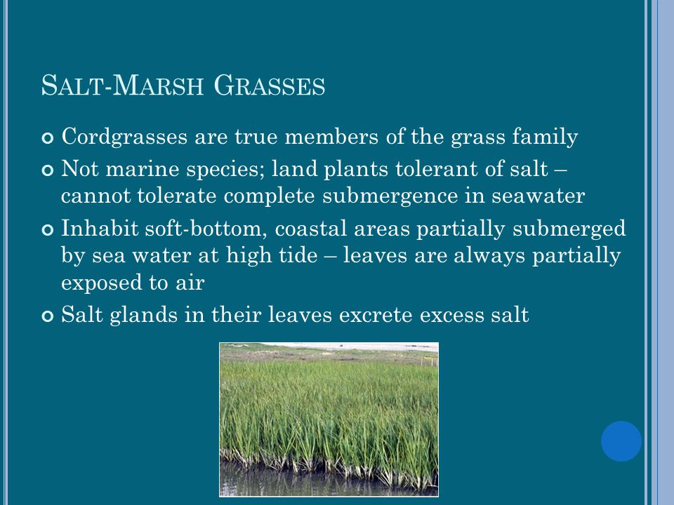 Salt-Marsh Grasses Cordgrasses are true members of the grass family