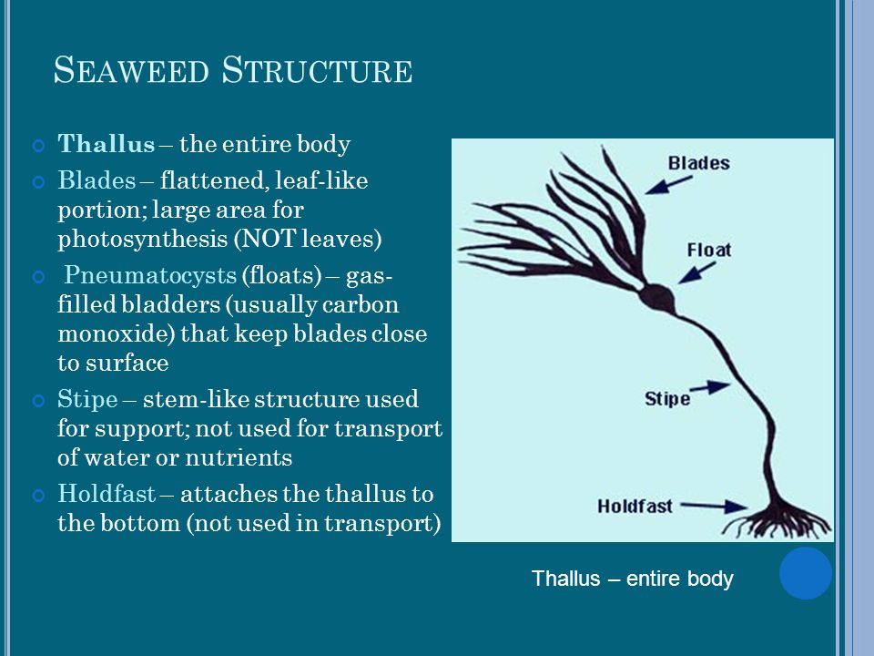 Seaweed Structure Thallus – the entire body