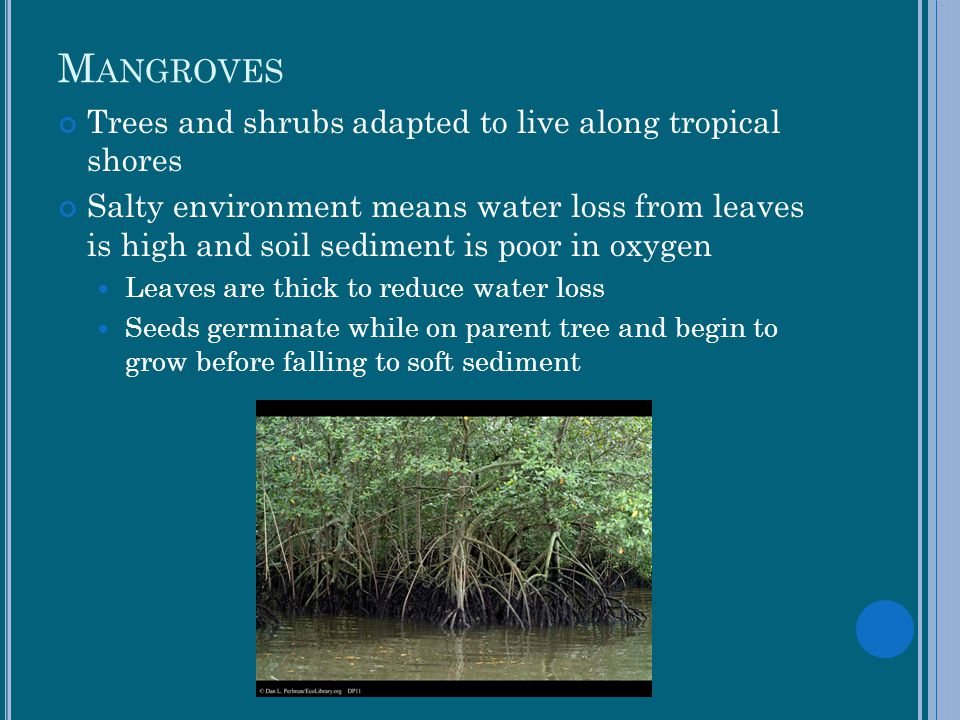 Mangroves Trees and shrubs adapted to live along tropical shores
