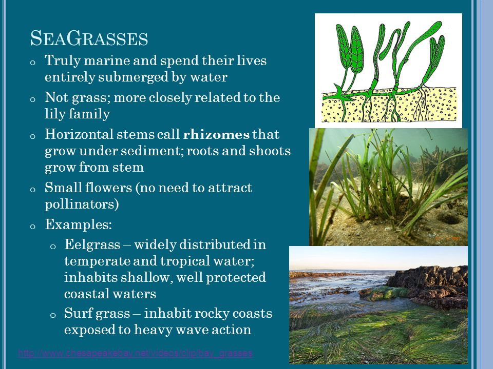SeaGrasses Truly marine and spend their lives entirely submerged by water. Not grass; more closely related to the lily family.