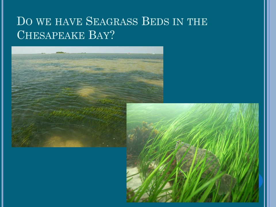 Do we have Seagrass Beds in the Chesapeake Bay
