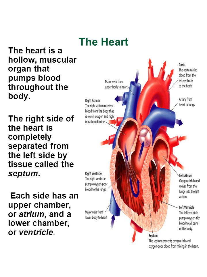 The Heart The heart is a hollow, muscular organ that pumps blood throughout the body.