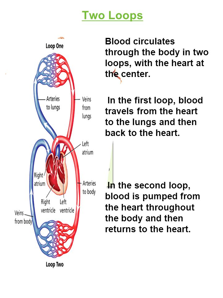 Two Loops Blood circulates through the body in two loops, with the heart at the center.