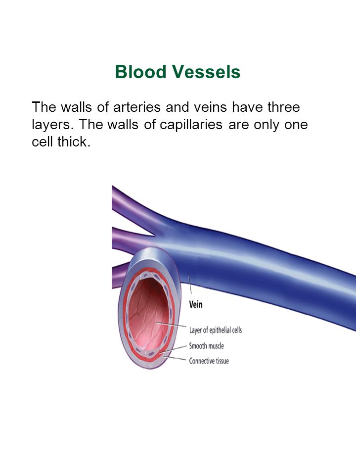 Blood Vessels The walls of arteries and veins have three layers.
