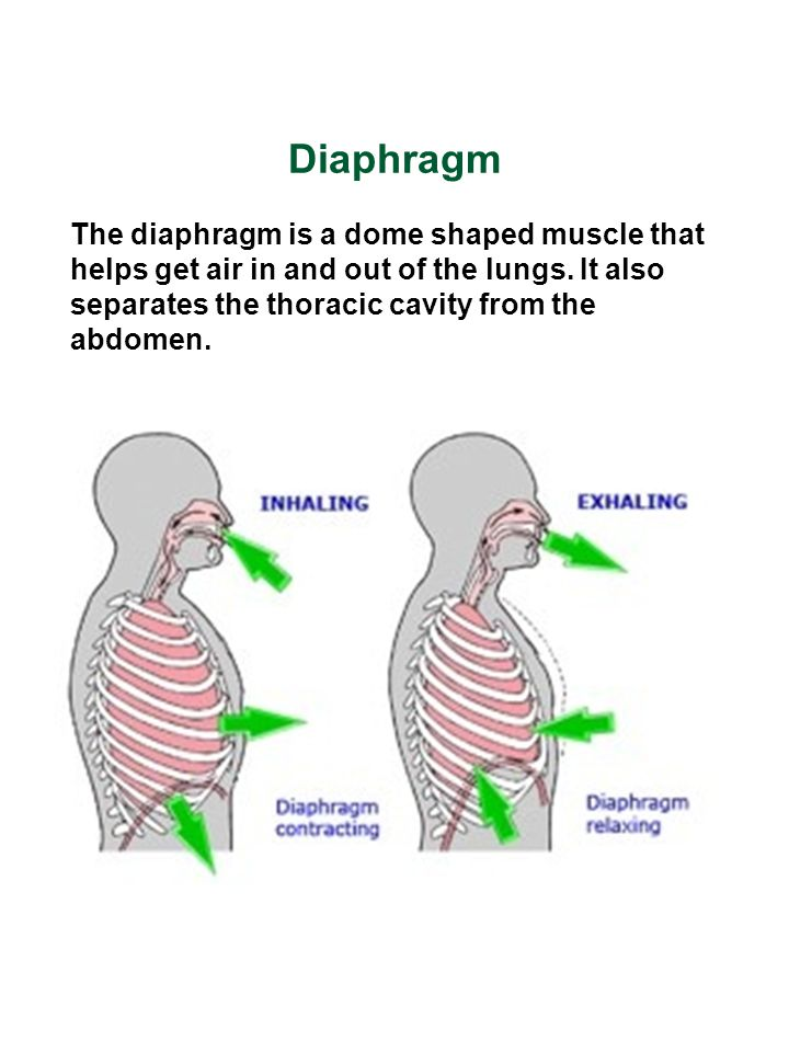Diaphragm The diaphragm is a dome shaped muscle that helps get air in and out of the lungs.