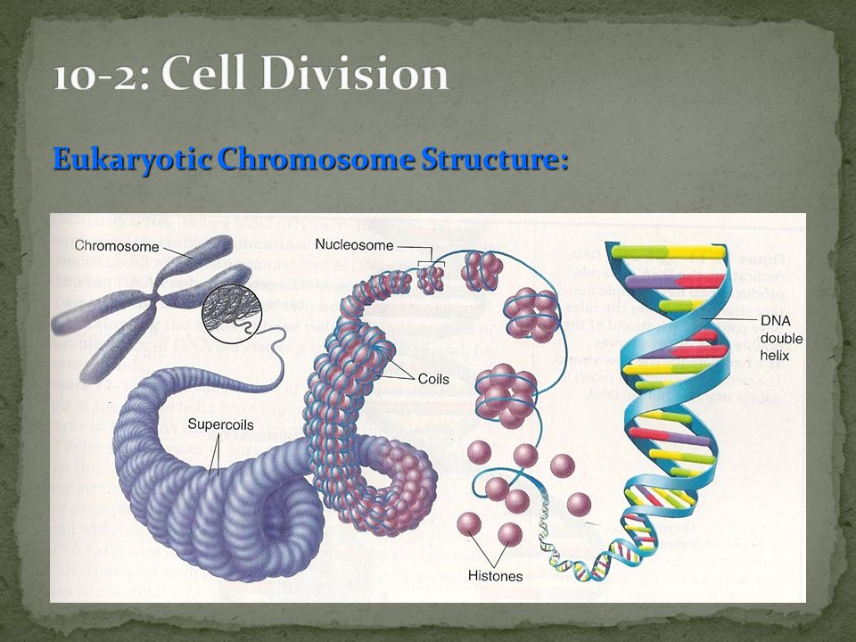 10-2: Cell Division Eukaryotic Chromosome Structure: