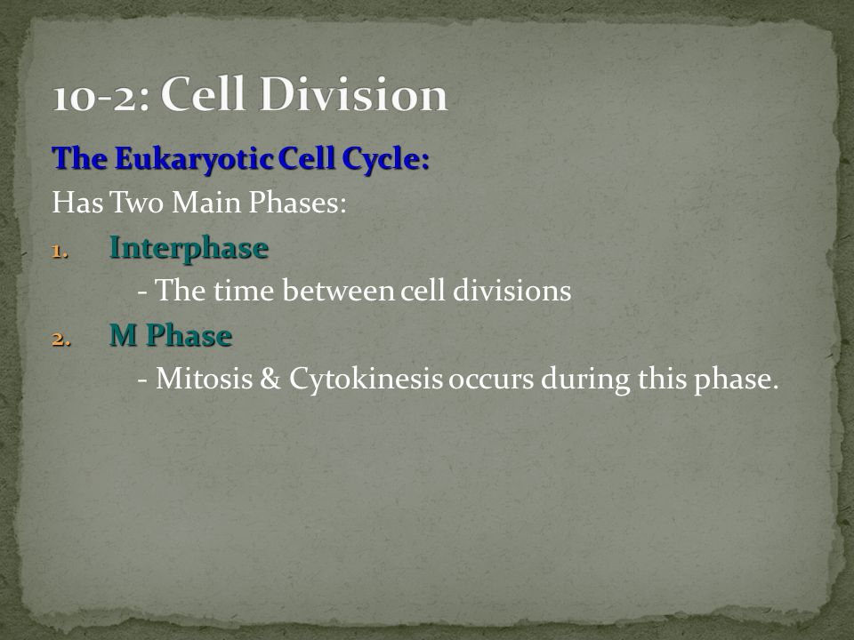 10-2: Cell Division The Eukaryotic Cell Cycle: Has Two Main Phases: