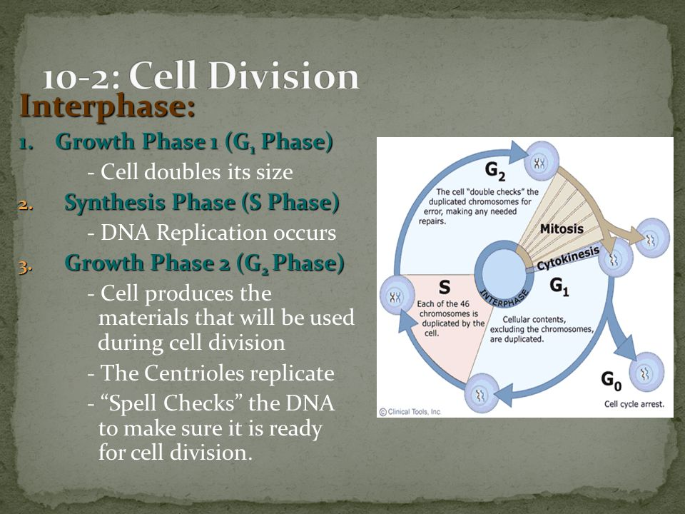 10-2: Cell Division Interphase: 1. Growth Phase 1 (G1 Phase)