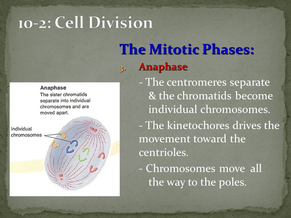 10-2: Cell Division The Mitotic Phases: