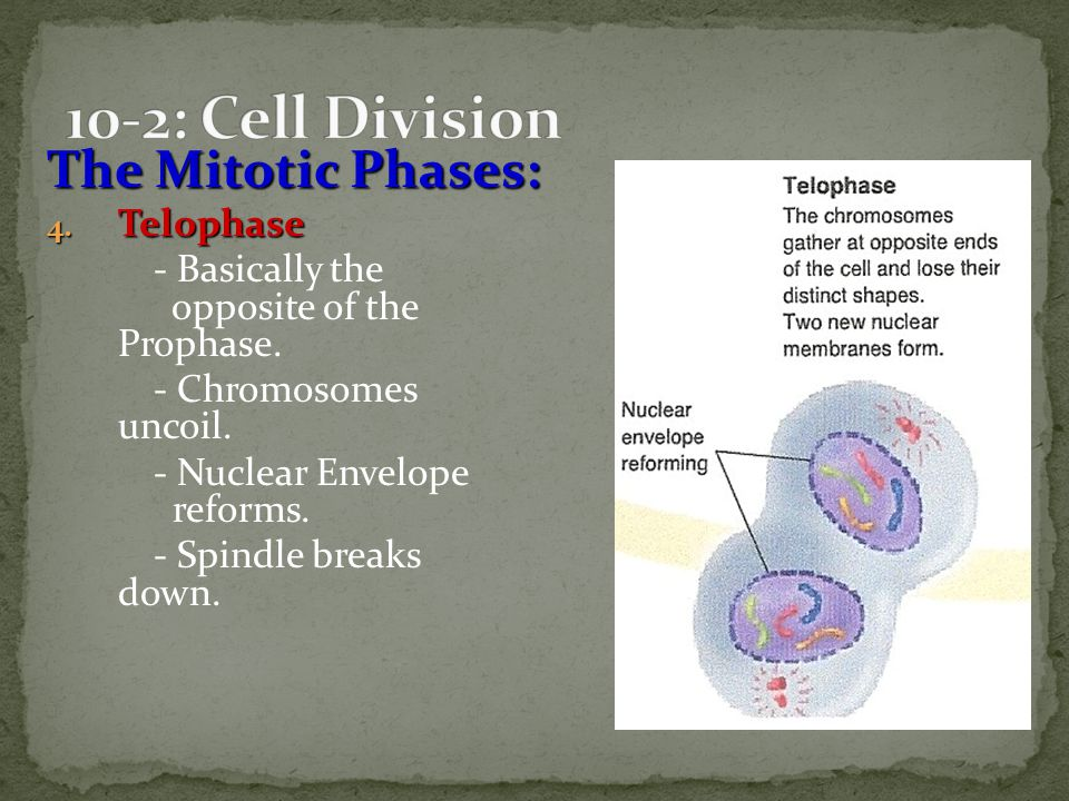 10-2: Cell Division The Mitotic Phases: Telophase