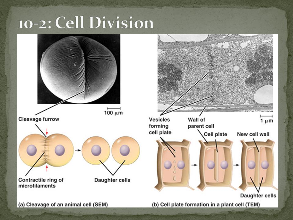 10-2: Cell Division Cytokinesis: Occurs during Telophase.