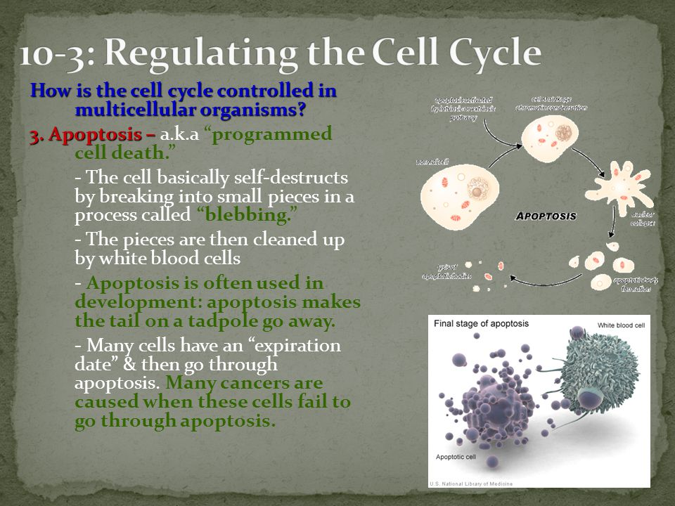 10-3: Regulating the Cell Cycle