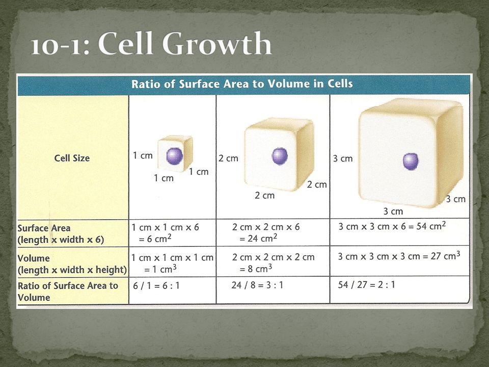 10-1: Cell Growth Why is the surface area (SA) to Volume (V) ratio (SA/V) so important