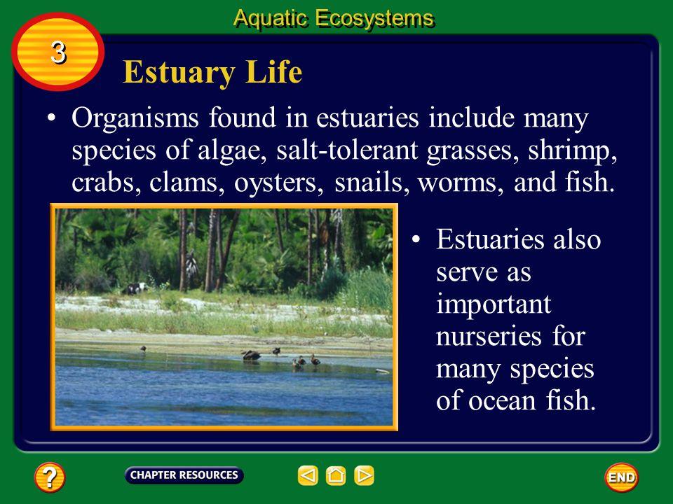 Aquatic Ecosystems 3. Estuary Life.