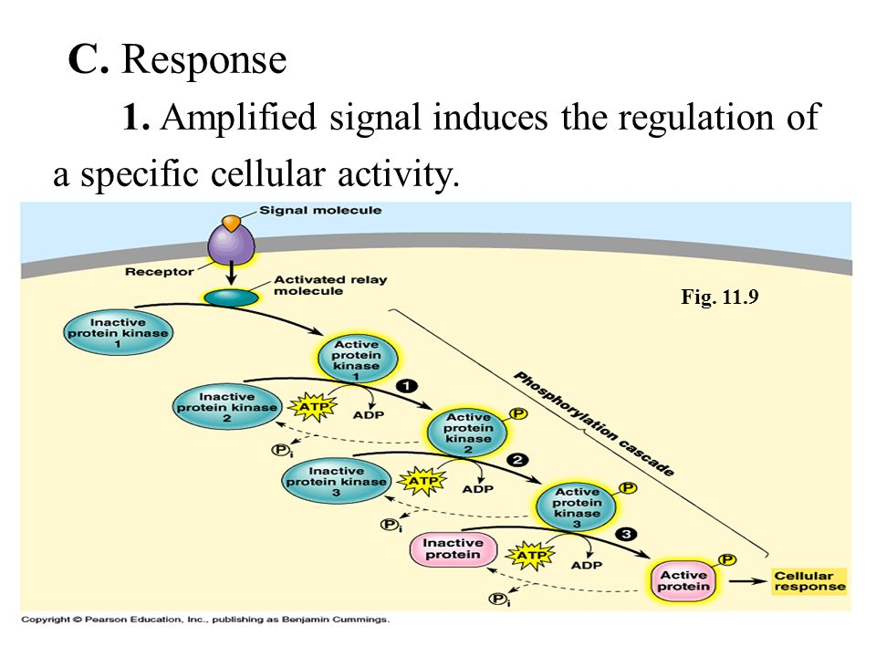 C. Response 1. Amplified signal induces the regulation of
