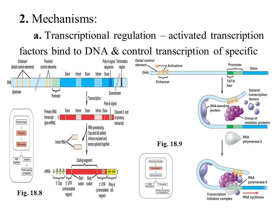 2. Mechanisms: a. Transcriptional regulation – activated transcription