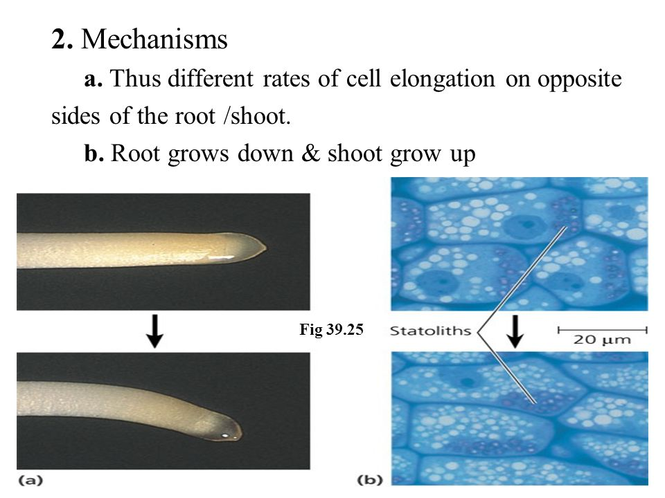 2. Mechanisms a. Thus different rates of cell elongation on opposite