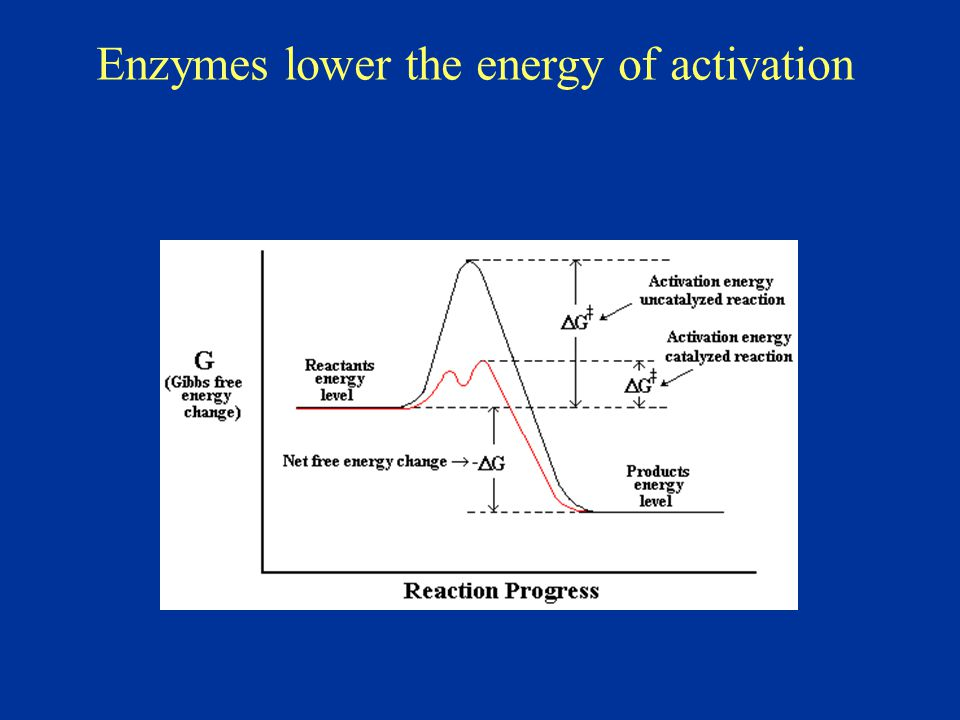 Enzymes lower the energy of activation